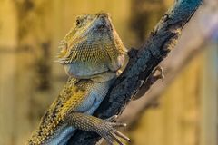 Bearded Agama sits on a wooden branch in terrarium. Face of bearded dragon lizard stock photo