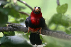 Bearded Barbet Royalty Free Stock Photo