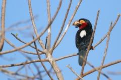 Bearded Barbet, bird of Gambia Stock Image