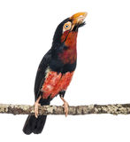 Bearded Barbet on a branch - Lybius dubius Royalty Free Stock Photos