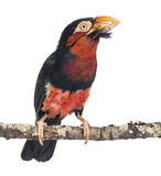 Bearded Barbet on a branch - Lybius dubius stock images