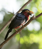 Bearded Barbet Royalty Free Stock Photography