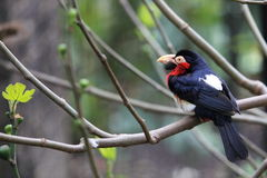 Bearded barbet Stock Photography