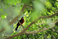Bearded barbet Royalty Free Stock Images