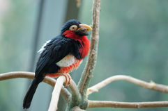 The bearded barbet. Sitting on a tree branch Stock Photography
