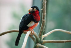 The bearded barbet. Sitting on a tree branch Royalty Free Stock Photos