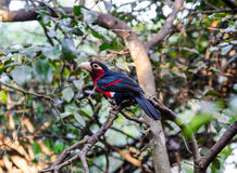 Bearded Barbet in South Africa Stock Photos