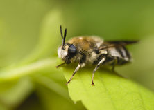 Bearded bee with two-colored eyes Royalty Free Stock Photos