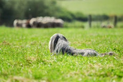 Bearded border collie dog guarding sheep Stock Image