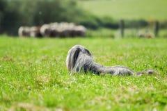 Bearded border collie dog guarding sheep Stock Image