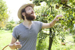 Bearded boy farmer who gathers pears from trees with straw hat Royalty Free Stock Photos