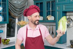 Bearded Chef in red apron and hat holds and looks at napa cabbage on kitchen. pakchoi in hand of cook. Fresh Chinese leaves tested. Aged bearded Chef in red royalty free stock photo