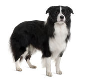 Bearded Collie, 1 Year Old, standing Royalty Free Stock Photos