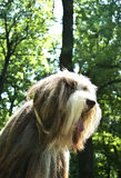 Bearded Collie. Dog in an outdoor beauty contest - exhibition stock image