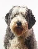 Bearded collie. On white background, hairy as usually royalty free stock image