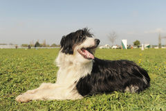 Bearded collie Royalty Free Stock Photos