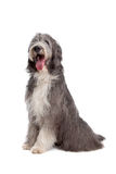 Bearded Collie. In front of a white background royalty free stock image