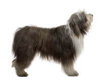 Bearded Collie, 3 Years Old Stock Image