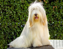 Bearded Collie Stockbilder