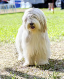 Bearded Collie Lizenzfreies Stockfoto