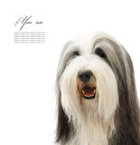 Bearded Collie, 4 years old, Royalty Free Stock Photography