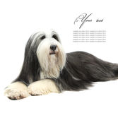 Bearded Collie, 4 years old, Royalty Free Stock Photos