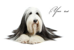 Bearded Collie, 4 years old, Stock Photo