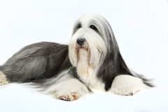 Bearded Collie, 4 years old, Royalty Free Stock Image