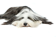 Bearded Collie, 4 years old, Stock Images
