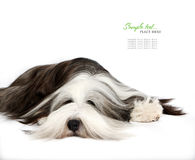 Bearded Collie, 4 years old, of white Stock Image