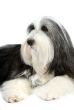 Bearded Collie, 4 years old, of white Stock Images