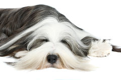 Bearded Collie, 4 years old, of white Stock Photos