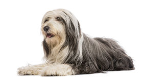 Bearded Collie, 5 years old, lying. Against white background royalty free stock photos