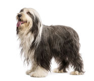 Bearded Collie, 5 years old, standing Stock Photo