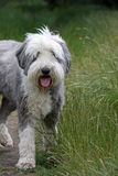 Bearded Collie. Taking a walk in the countryside Stock Photos