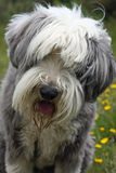 Bearded Collie. With a questioning look on his face in close-up Royalty Free Stock Images