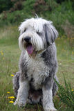 Bearded Collie. Dog sitting in a field Royalty Free Stock Images