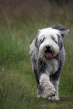 Bearded Collie. Taking a walk in the countryside Royalty Free Stock Images