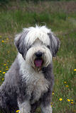 Bearded Collie. Dog sitting in a field Stock Photo
