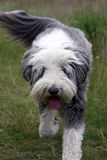 Bearded Collie. Walking in the countryside in close up Royalty Free Stock Images