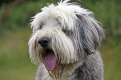 Bearded Collie Stock Photos