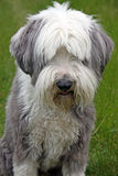 Bearded Collie Stock Images