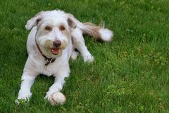 Bearded Collie ball Royalty Free Stock Photography