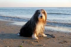 A cute Bearded Collie portrait Royalty Free Stock Image