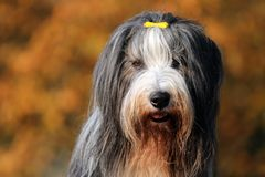 Bearded Collie. With autumn colored background royalty free stock images