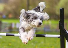 Free Bearded Collie Dog Doing Agility Stock Images - 107756764