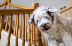 Bearded Collie dog on stairs Royalty Free Stock Image