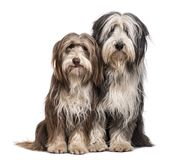 Bearded Collie dogs sitting together against white background. Isolated on white Royalty Free Stock Photos