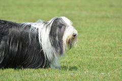 Bearded Collie playing in the yard. The Bearded Collie is a fun, comical, herding breed which does well in the show ring or pasture Royalty Free Stock Image