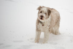 Bearded collie howling barking. Brown bearded collie barking howling winter snow Stock Photography